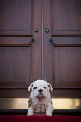Chesty, the future Marine Corps mascot, stands on the door step Home of the Commandants during the puppy's visit to Marine Barracks Washington, D.C., Feb. 14. Chesty, a 9-week-old pedigree English bulldog is soon to become the future Marine Corps mascot after the completion of obedience and recruit training with a ceremony scheduled for March 29. After completing training, the young puppy will earn the title Marine joining the ranks of his well-known predecessors. (Photo by Sgt. Dengrier M. Baez)